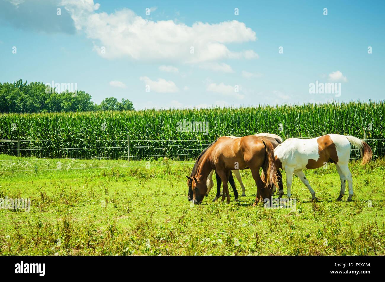 Cavalli al pascolo in un pascolo accanto a un campo di mais; Centreville, Maryland, Stati Uniti d'America Immagini Stock