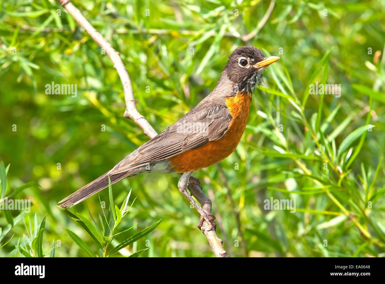 American Robin, Turdus migratorius, sul ramo Immagini Stock