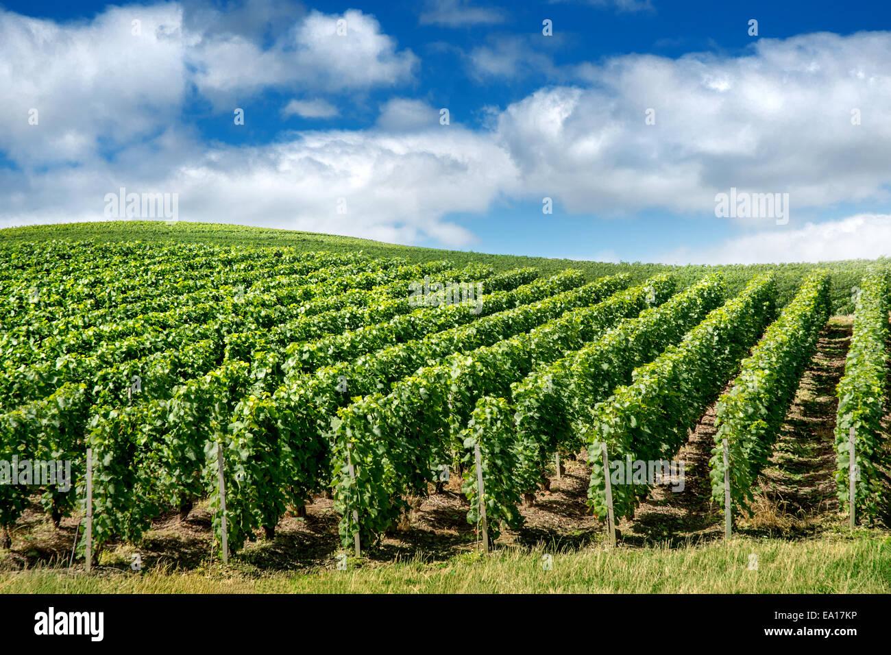 Paesaggio di vigneti, Montagne de Reims, Francia Immagini Stock