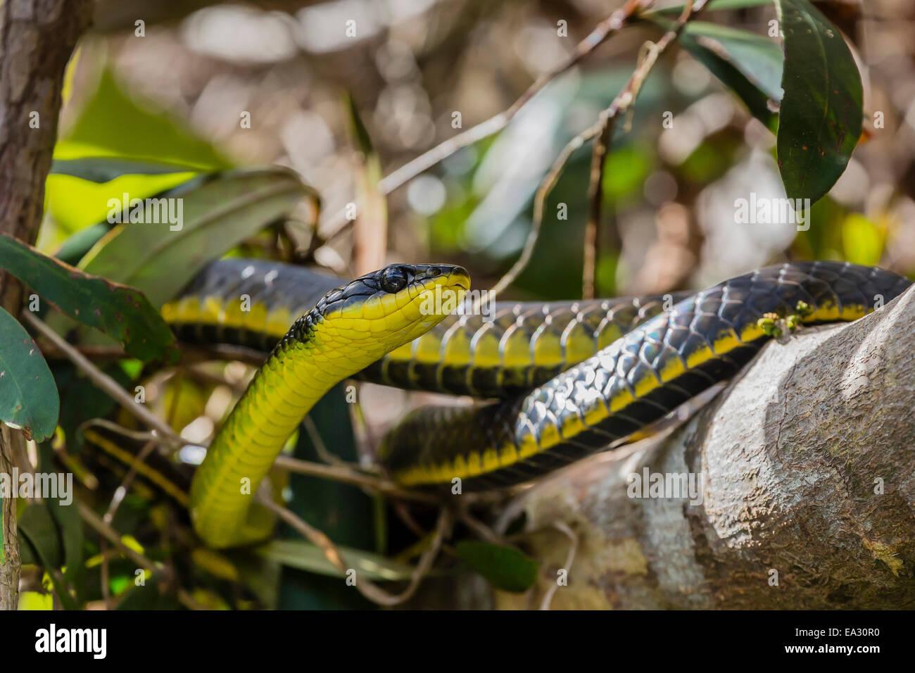 Un adulto tree australiano di snake, sulle rive del Fiume Daintree, Daintree foresta di pioggia, Queensland, Australia Immagini Stock
