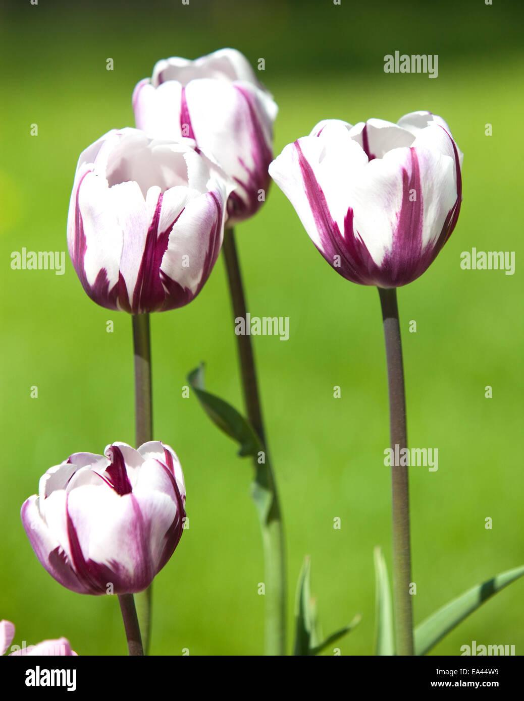 Campo Da Colorare Tulipano Immagini Campo Da Colorare Tulipano