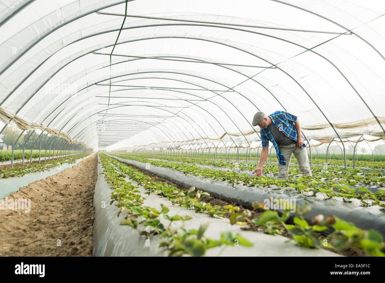 Agricoltore guardando le piante in serra Immagini Stock