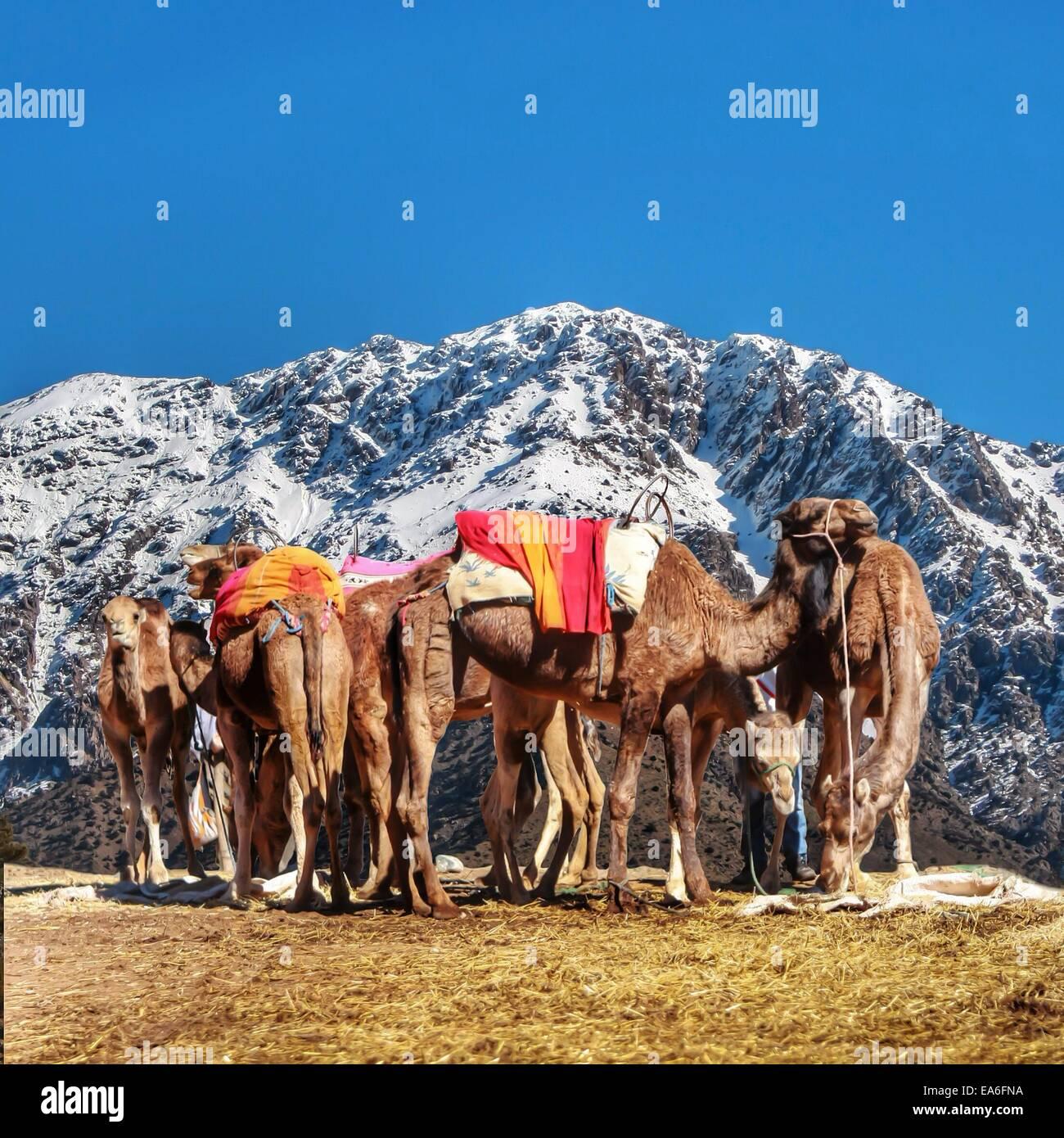 Il Marocco, Marocchina cammelli in appoggio sulle montagne Atlas Ourika Immagini Stock