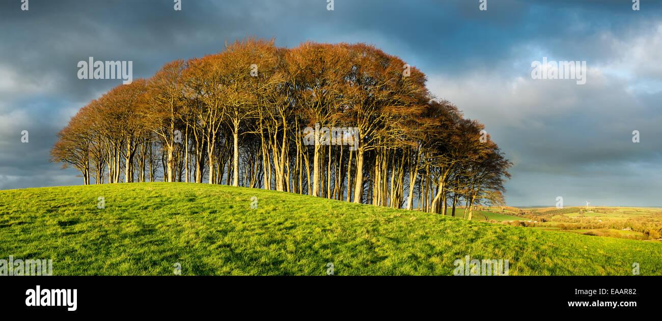 Icona di stand di faggi sotto un drammatico cielo tempestoso sulla sommità di una collina del Devon e Cornwall Immagini Stock