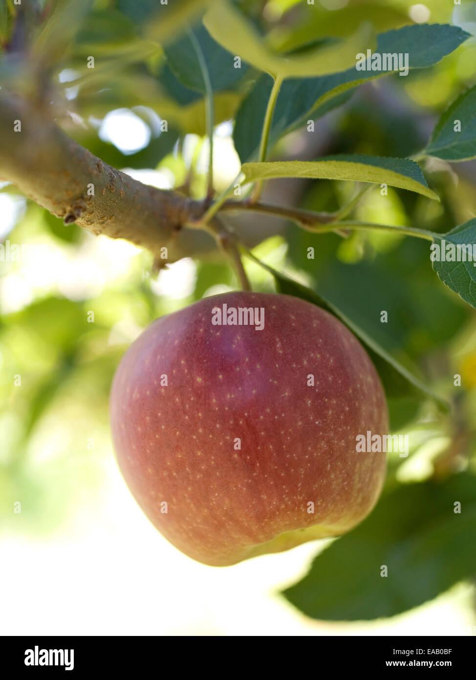 Mela matura crescente su albero Immagini Stock