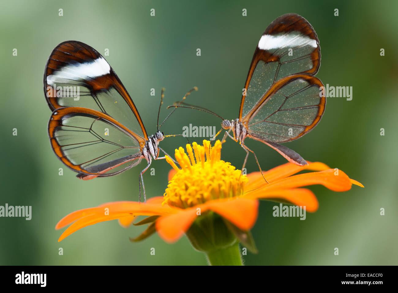 Coppia di 'anta vetro' farfalle, alimentando in corrispondenza di North Somerset Butterfly House Immagini Stock