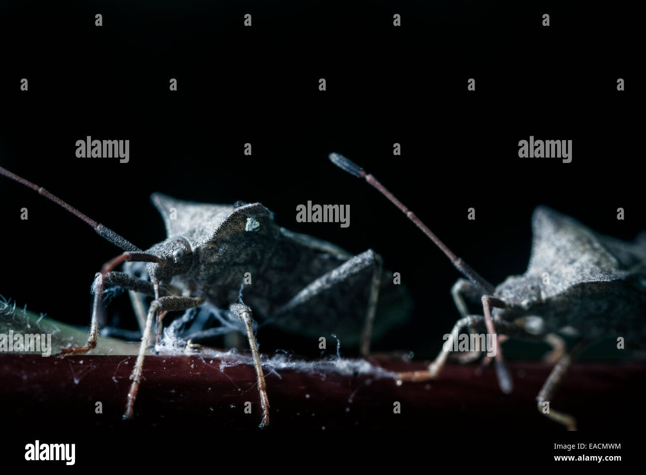 Coreus marginatus (dock bug, squash bug) Immagini Stock