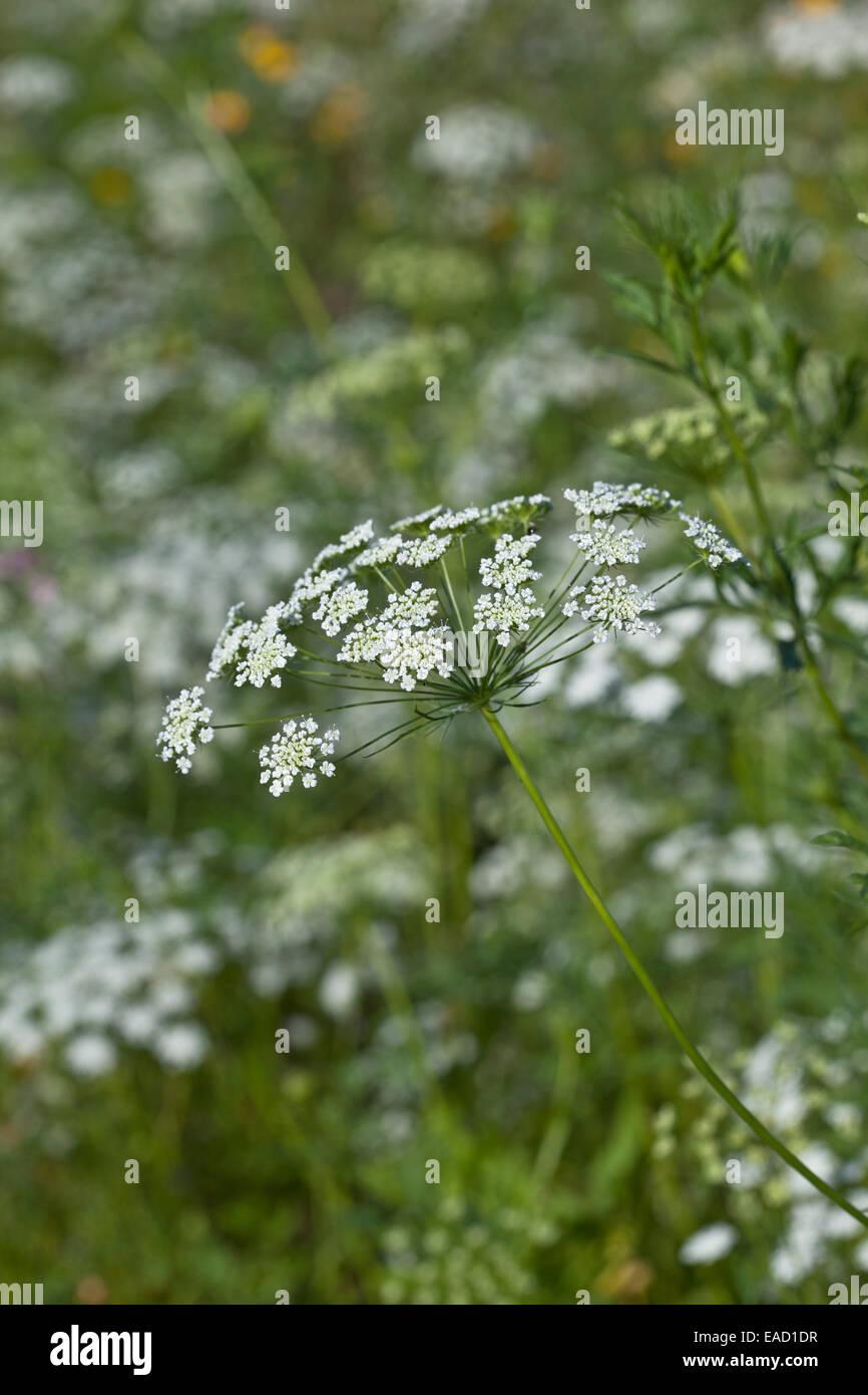 """Ammi majus """"i Vescovi di fiore Foto Stock"""