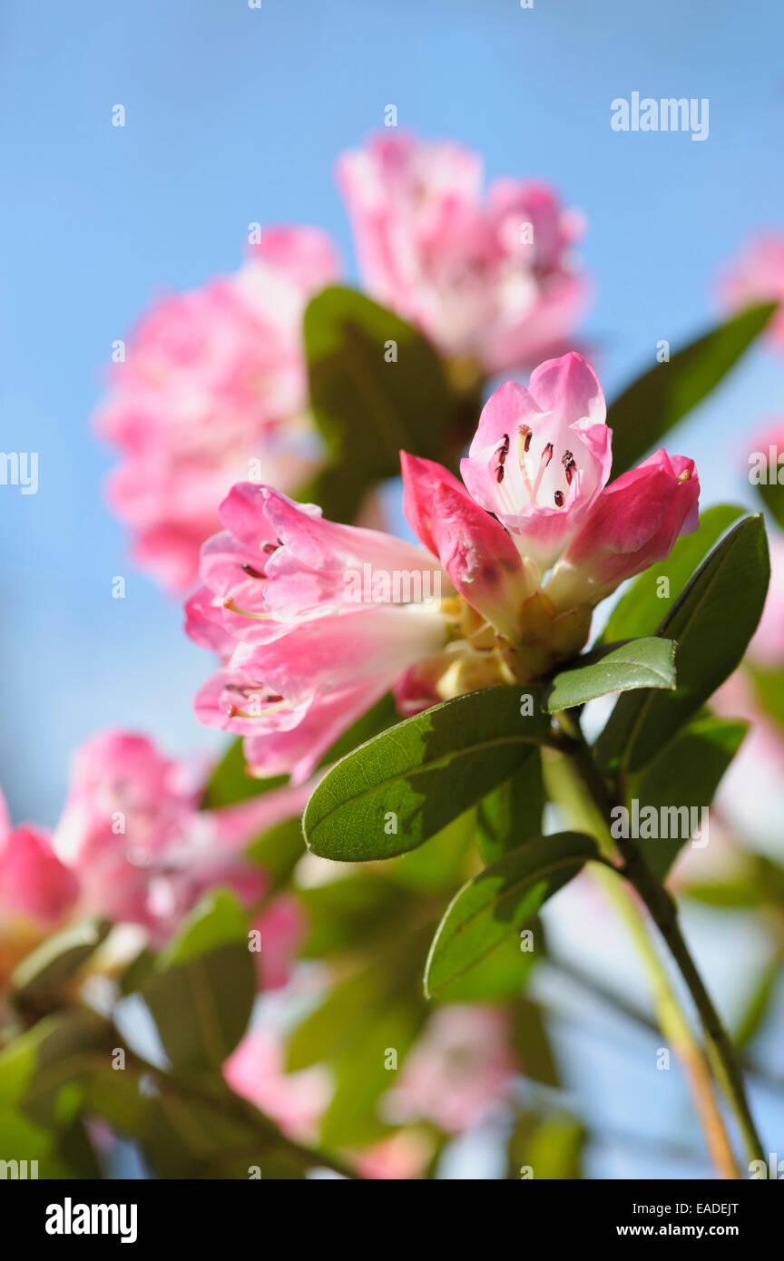 """Rhododendron """"l'eta', rododendro """"l'eta', oggetto rosa, sfondo blu. Immagini Stock"""