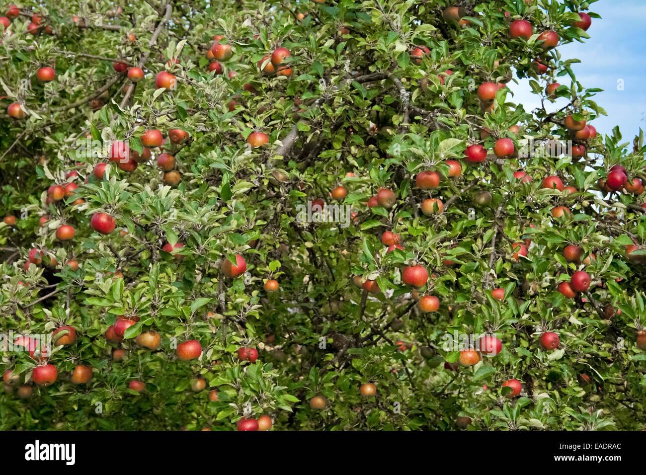 Albero di mele con frutti mellow Immagini Stock