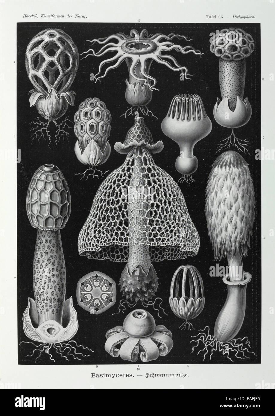 FungiBasidiomycota filamentoso; varie specie di questo grande phylum di funghi filamentosi Immagini Stock