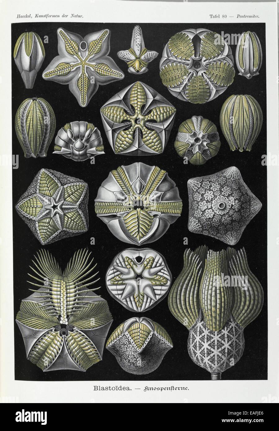 Blastoidea; varie specie di un tipo di estinzione di gambi di echinodermi. Immagini Stock