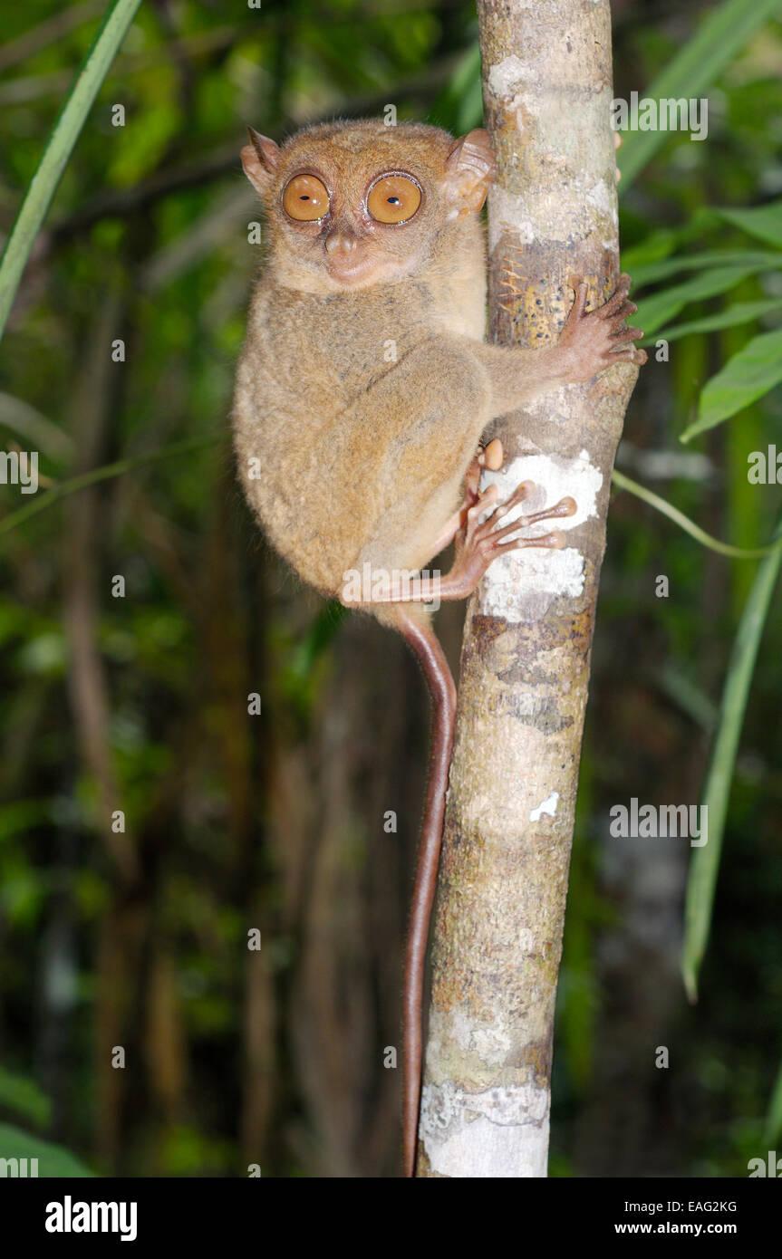 Philippine tarsier (Carlito syrichta) Isola di Bohol, Filippine, Sud-est asiatico Immagini Stock