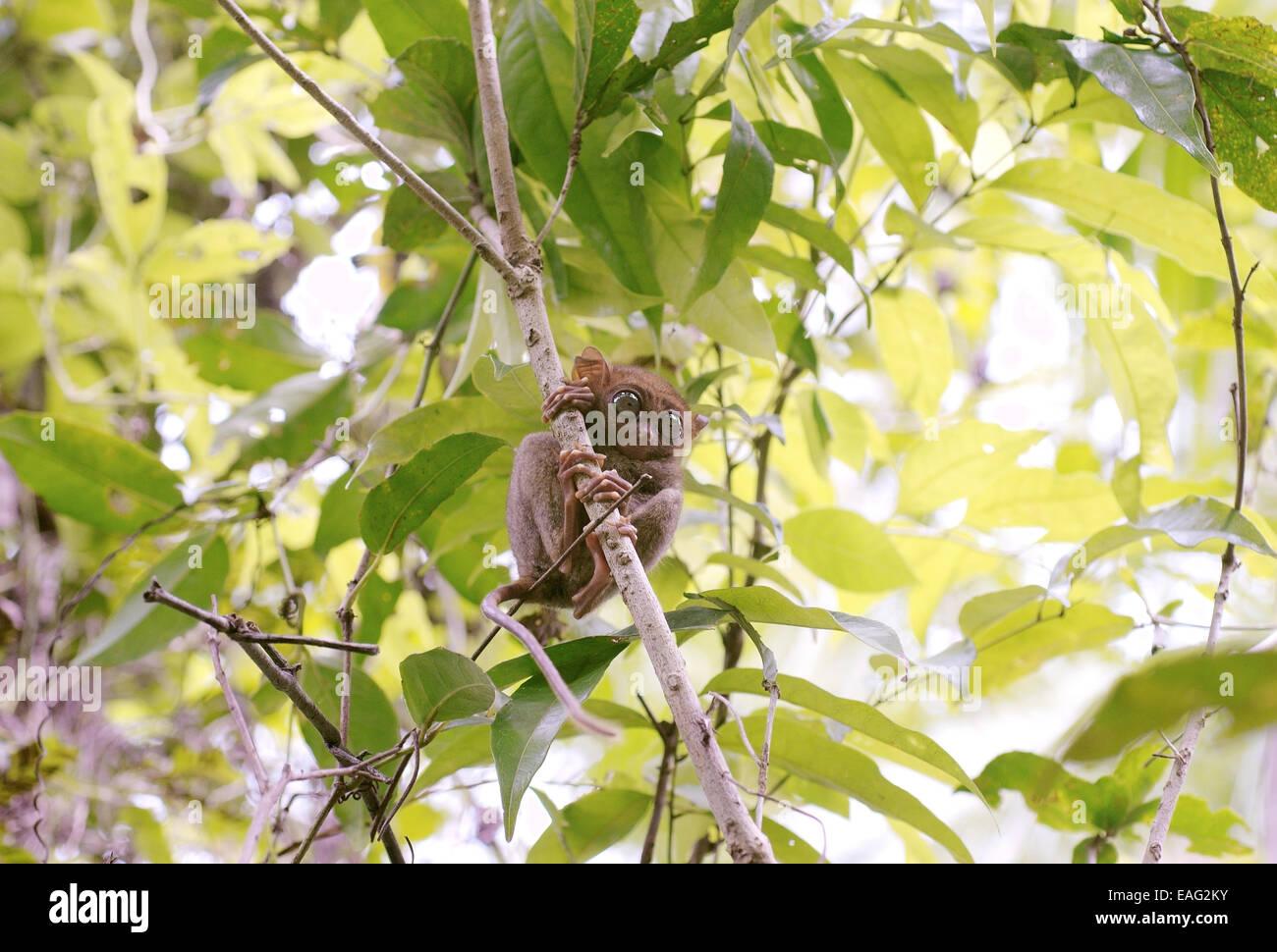Philippine tarsier (Carlito syrichta) nascosti tra gli alberi, isola di Bohol, Filippine, Sud-est asiatico Immagini Stock