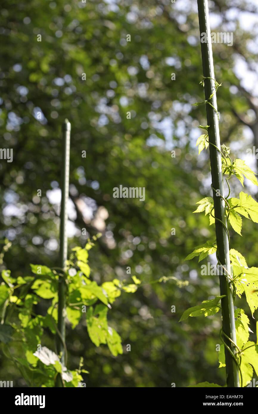 In cascata al luppolo un aiuto di arrampicata e coltivata in un urbano progetto di giardinaggio in Germania Foto Stock