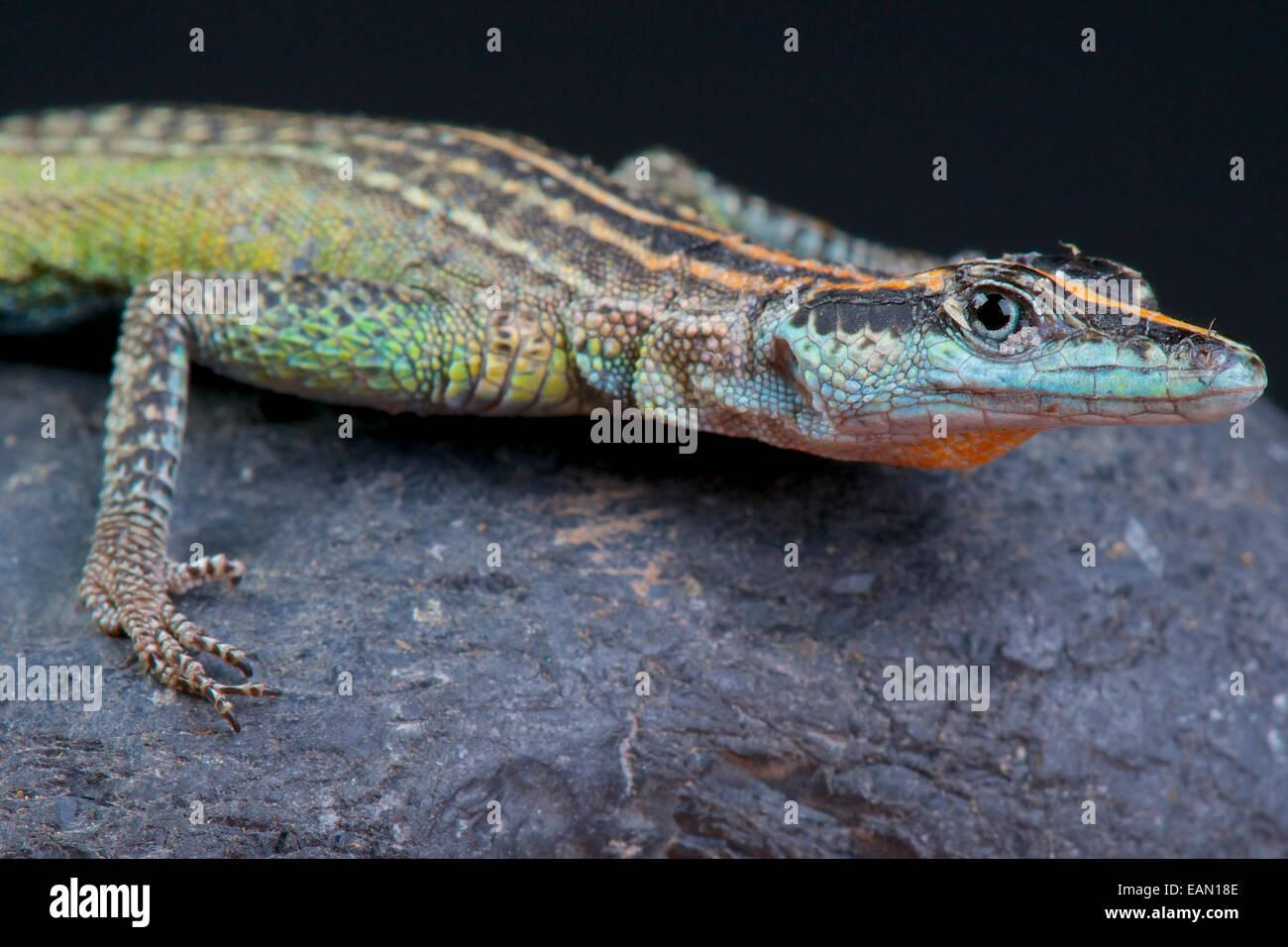 Flat rock lizard / Platysaurus Torquatus Immagini Stock