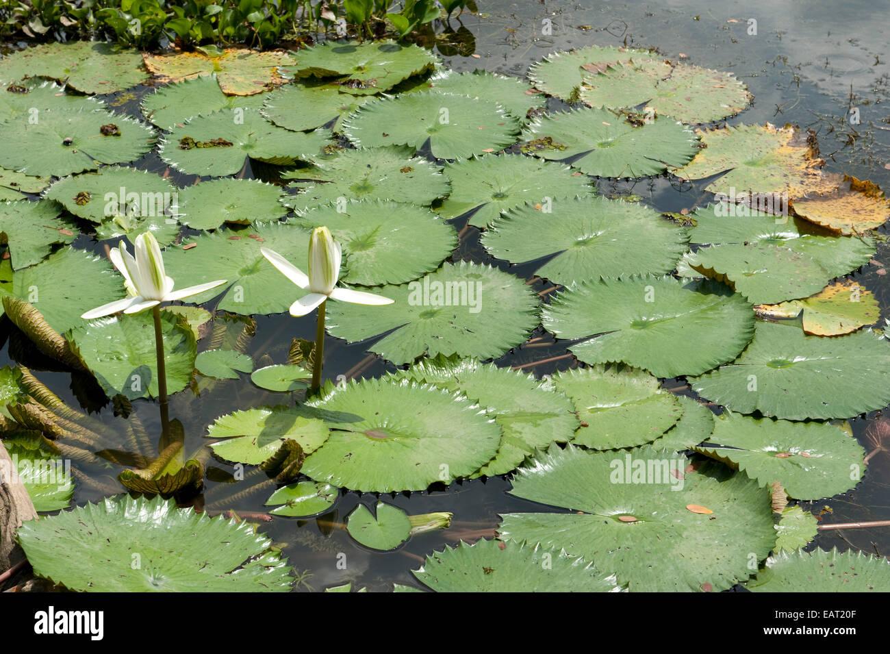 Ninfee sul Lago di Gatun Panama Immagini Stock