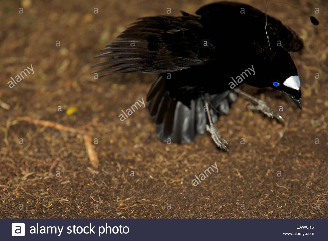 Un maschio di western parotia uccello del paradiso visualizza per una femmina. Immagini Stock