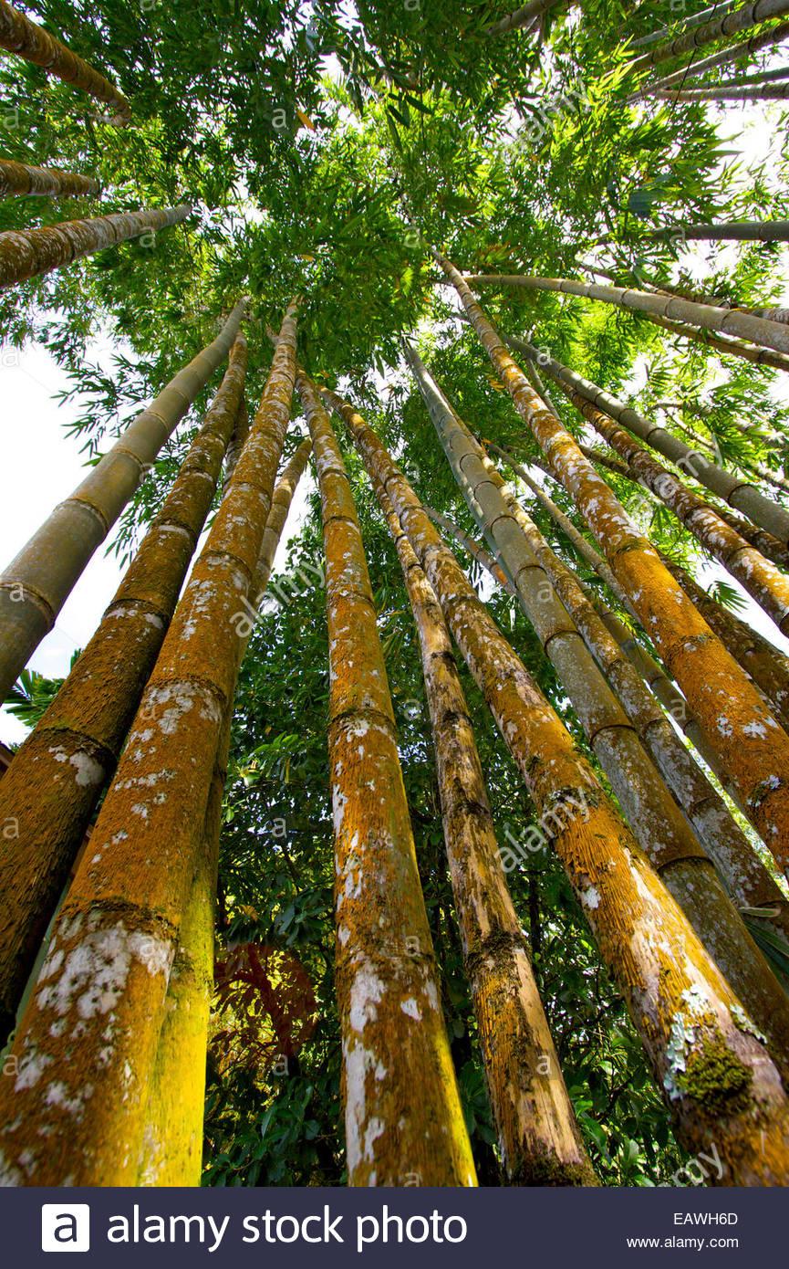 Gli stocchi spessi di bambù per raggiungere il cielo. Immagini Stock
