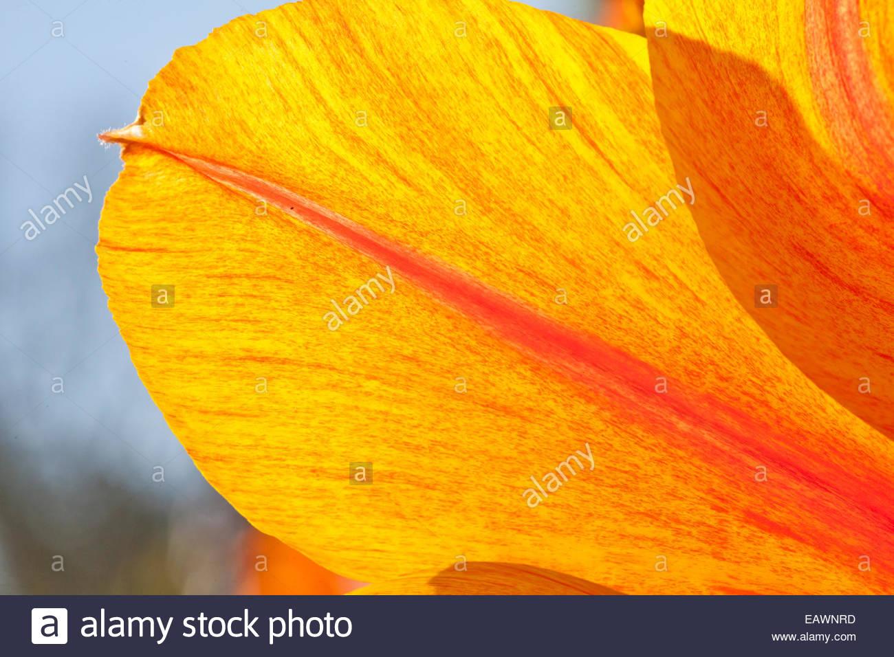 Traslucido petalo di un orange tulip. Immagini Stock