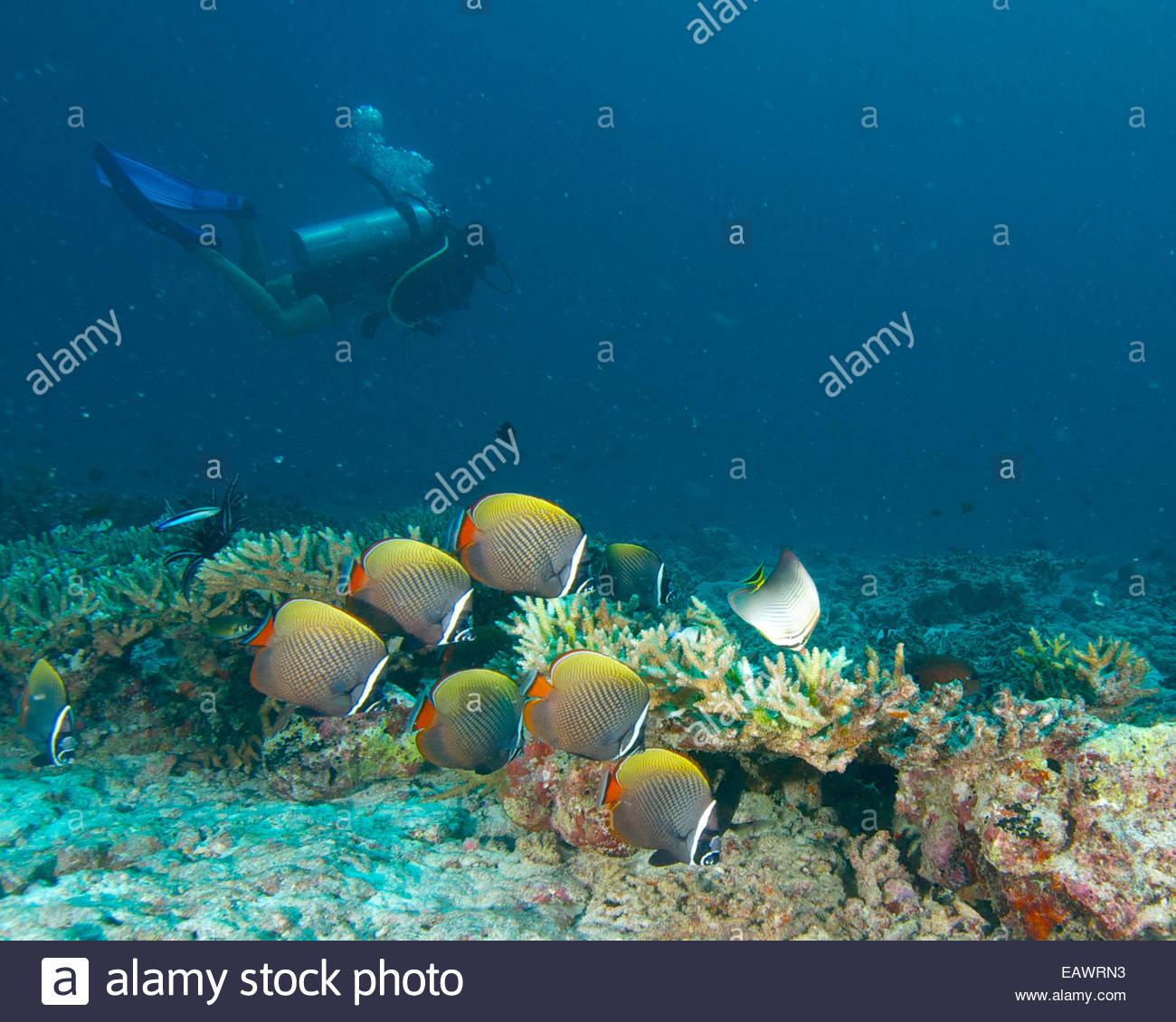 Un sommozzatore passa collare bianco butterflyfish (Chaetodon collare). Immagini Stock