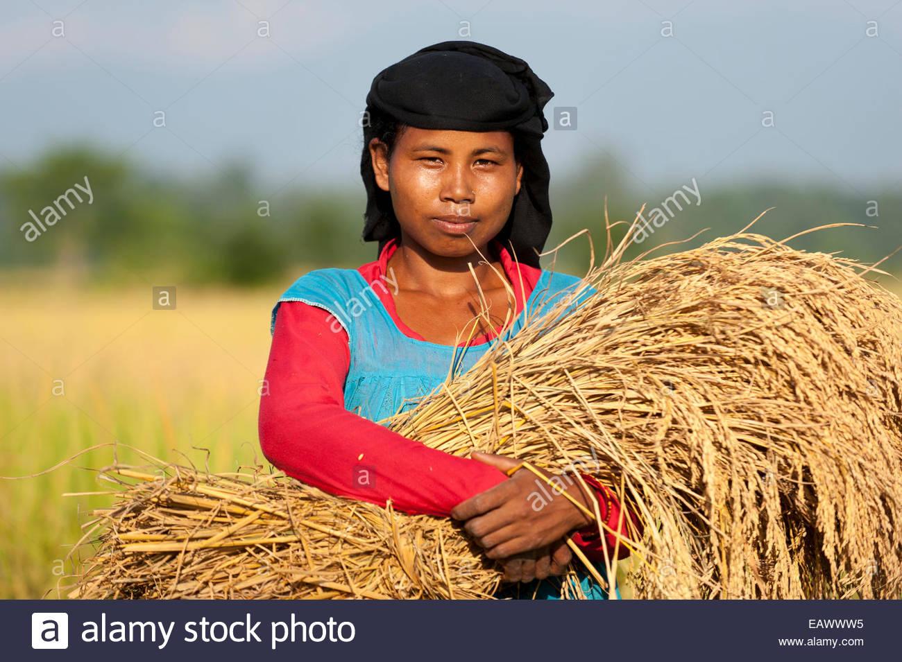 Una donna nepalese trattiene un fascio di appena raccolto di riso Immagini  Stock 53e336466c26