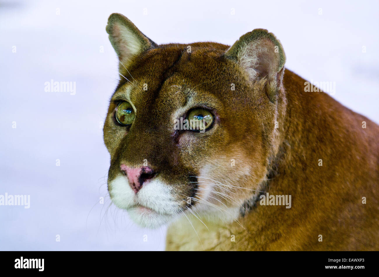 Il curioso ancora lo sguardo sereno di un Leone di montagna con calce occhi verdi. Immagini Stock
