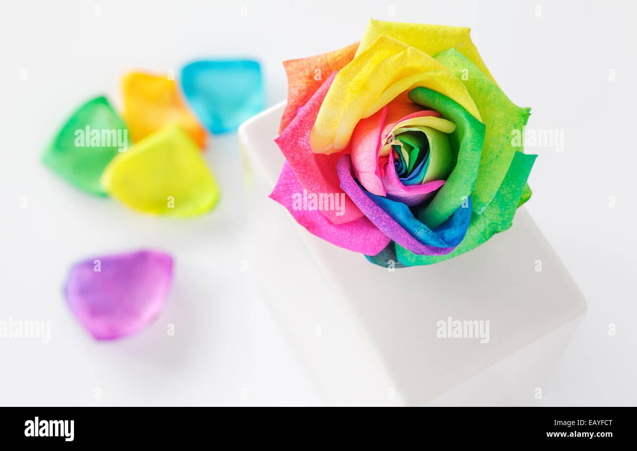 Rainbow Rose in vaso bianco Immagini Stock
