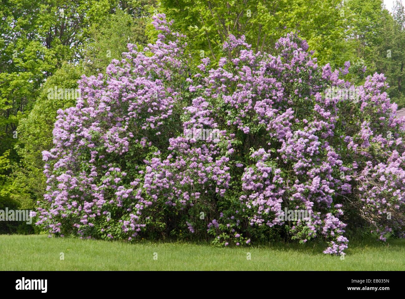 Albero Di Lillà albero di lillà - syringa foto stock - alamy
