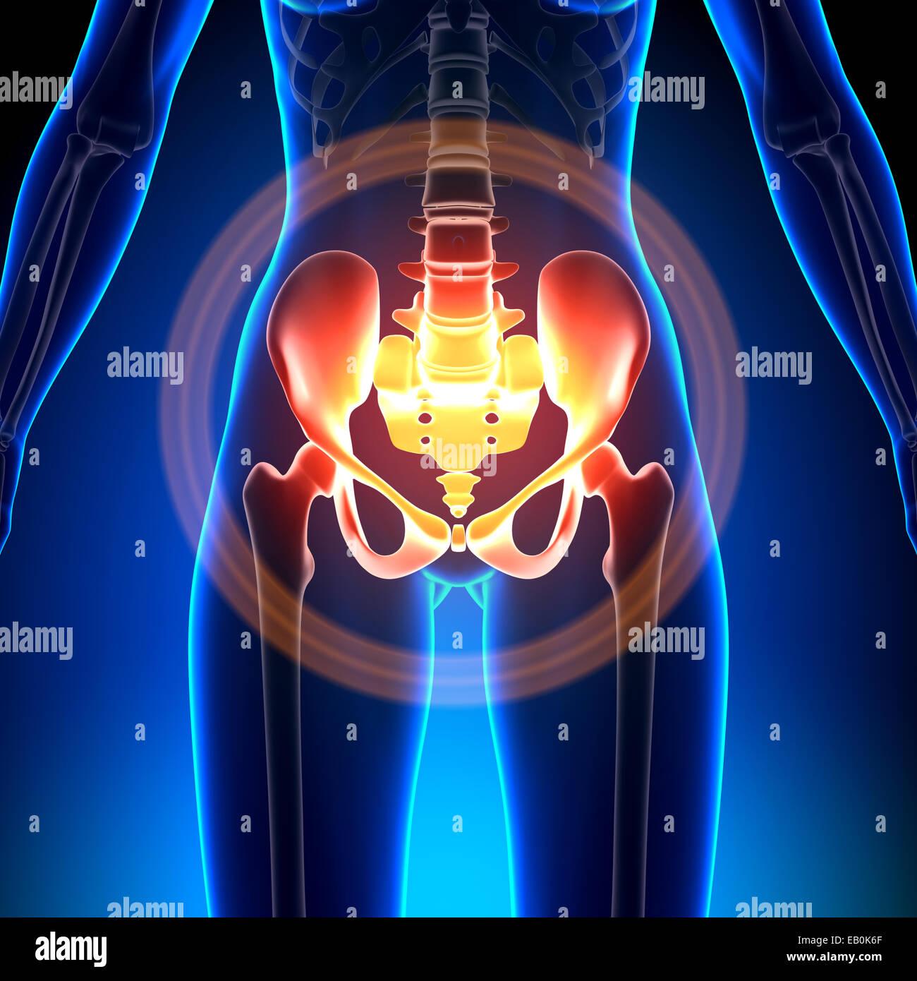 Anca femmina / Sacrum / pube / ischio / Ilium - Anatomia ossa Foto Stock