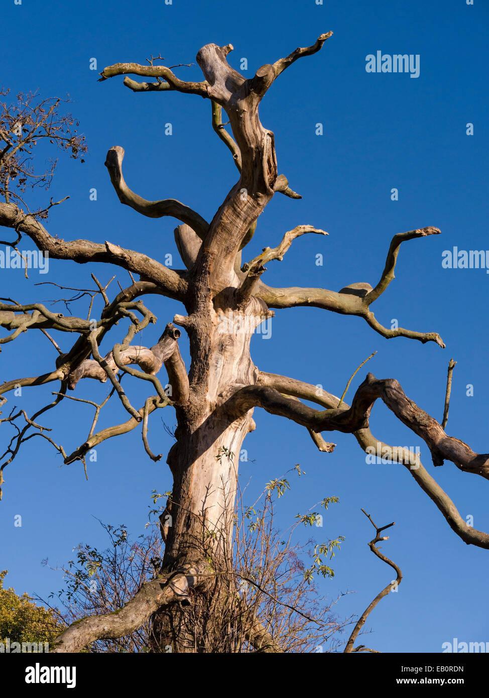 Soleggiato a nudo Albero morto tronco e rami contro il cielo blu chiaro, Derbyshire, England, Regno Unito Immagini Stock