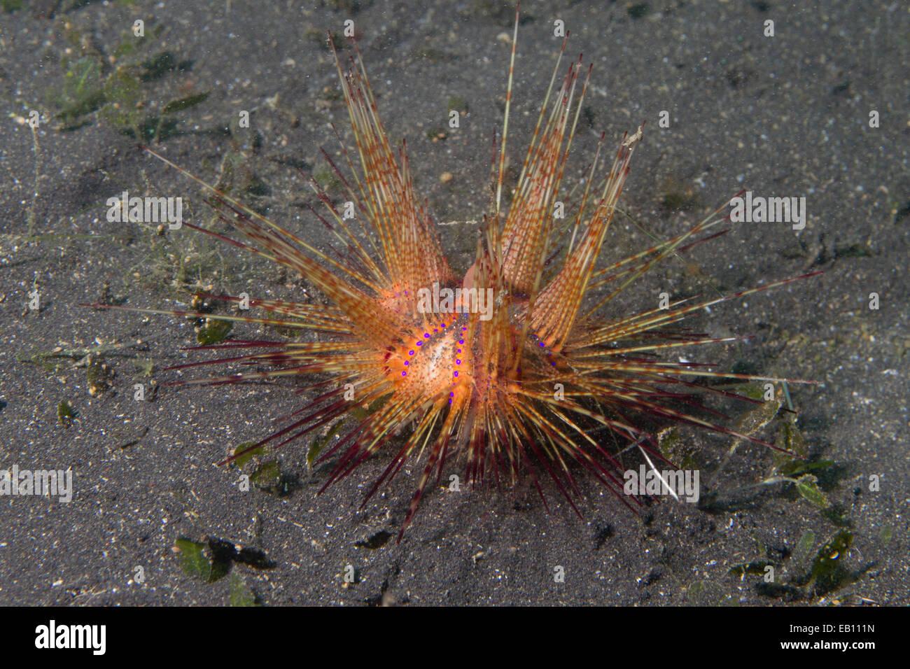 Radiant ricci di mare (Astropyga radiata) stretto di Lembeh, Indonesia Immagini Stock