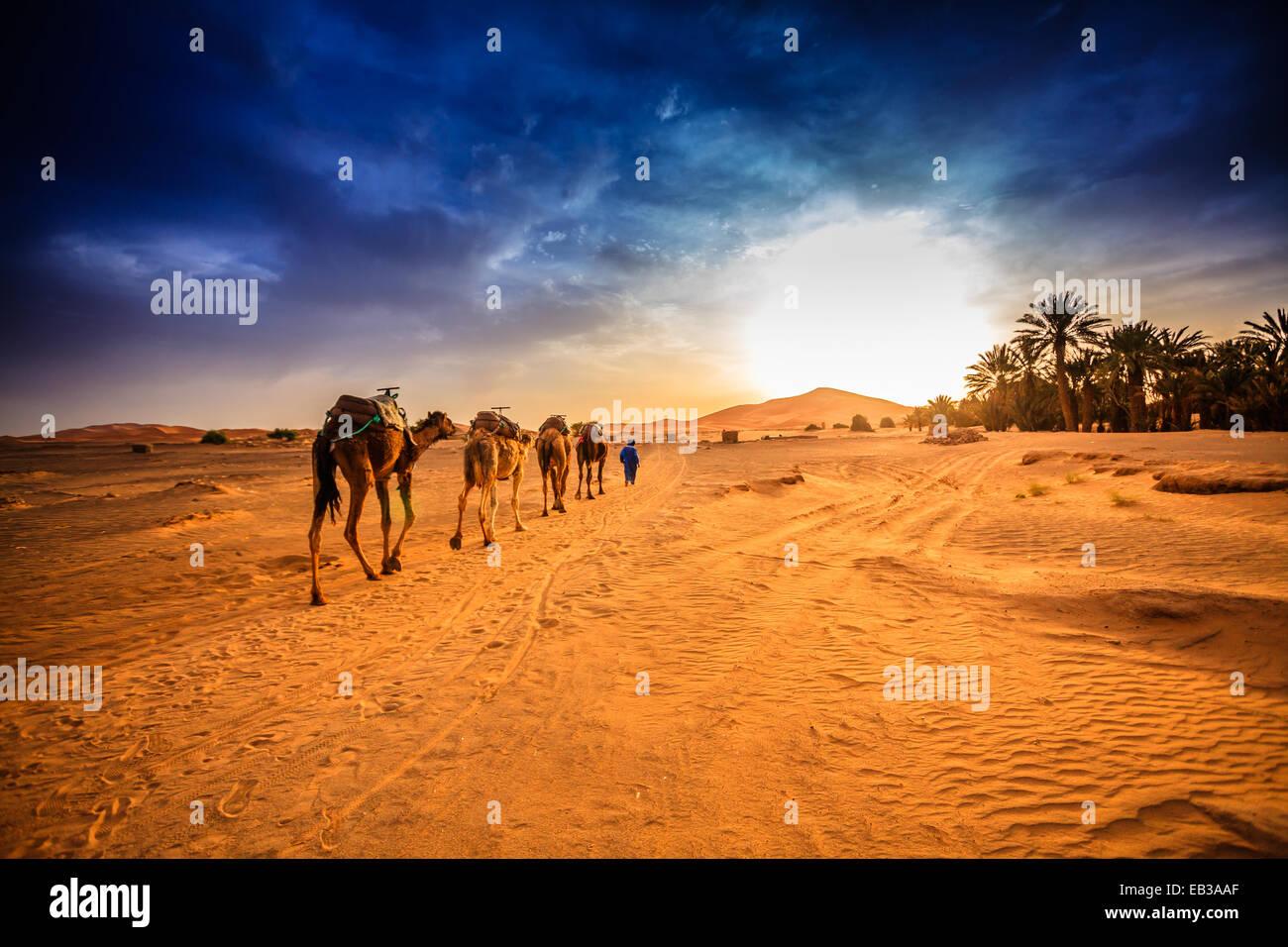 Caravan del cammello nel deserto del Sahara, Marocco Immagini Stock