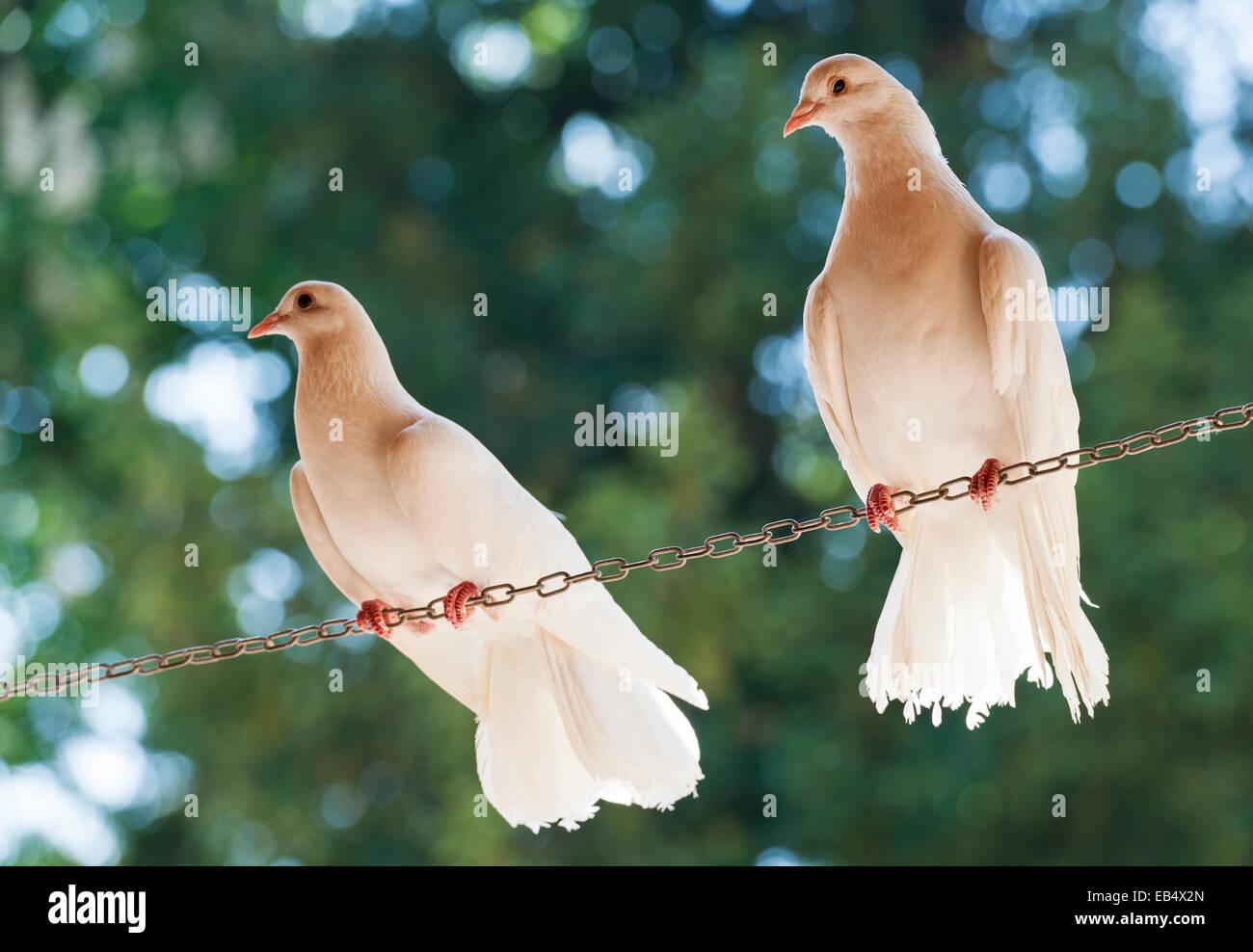 L'Italia. Due colombe bianche si appollaia su una lunghezza di catena, visto da sotto Immagini Stock