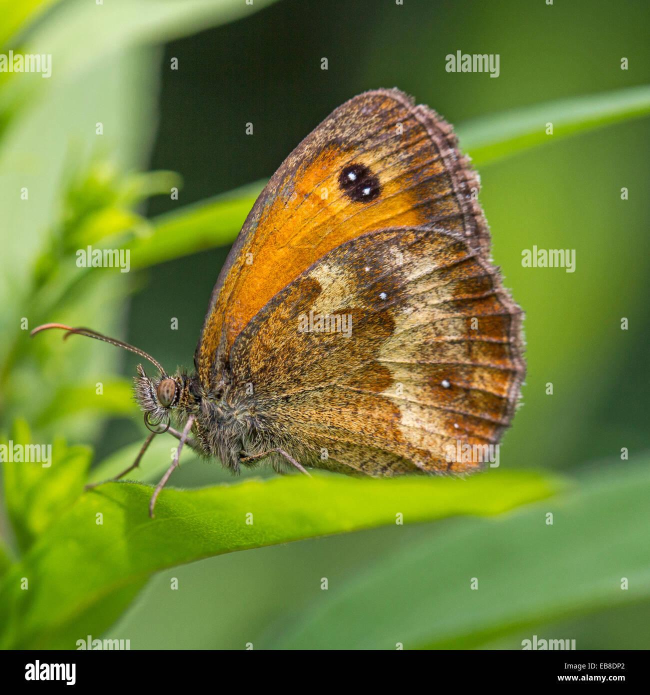 Gatekeeper / Hedge marrone (Pyronia tithonus) Immagini Stock
