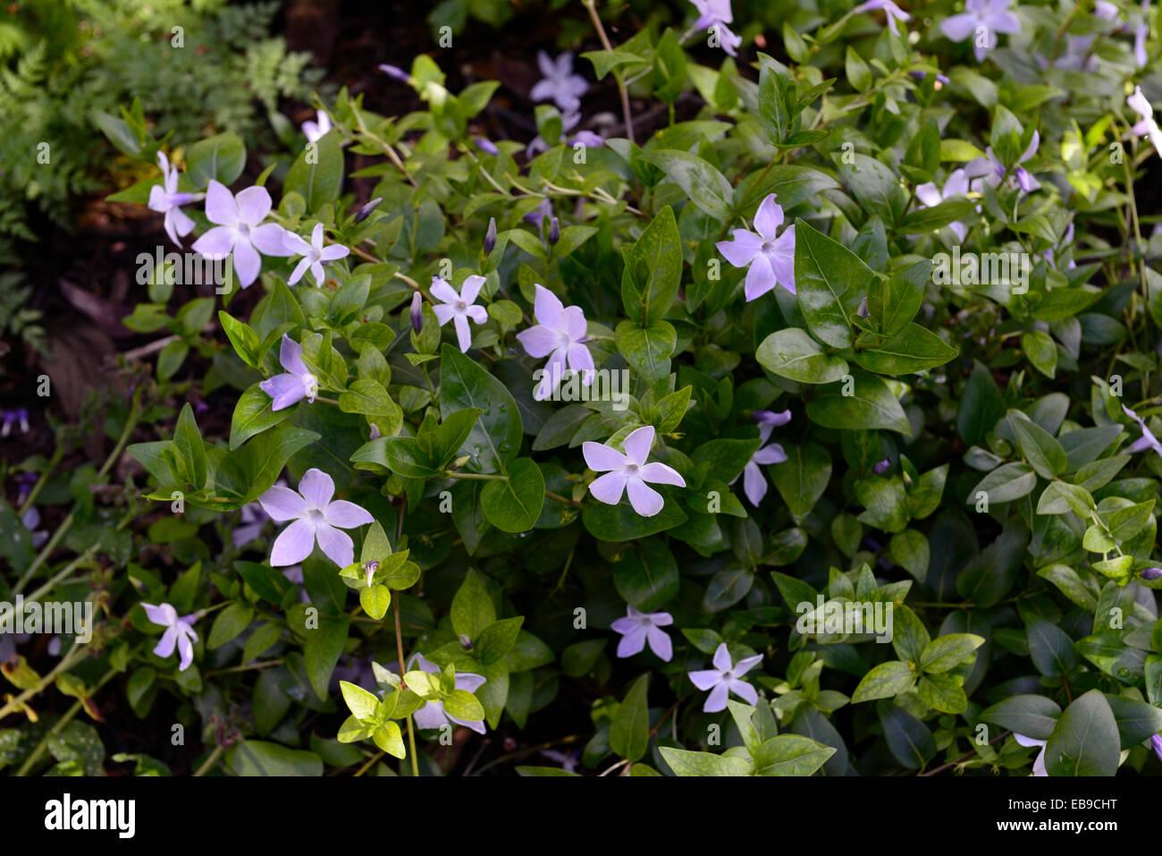 Vinca flowers immagini & vinca flowers fotos stock alamy