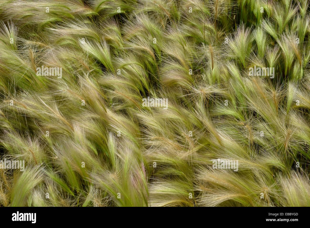 Close up di erba decorativa utilizzata in un bordo del giardino Immagini Stock