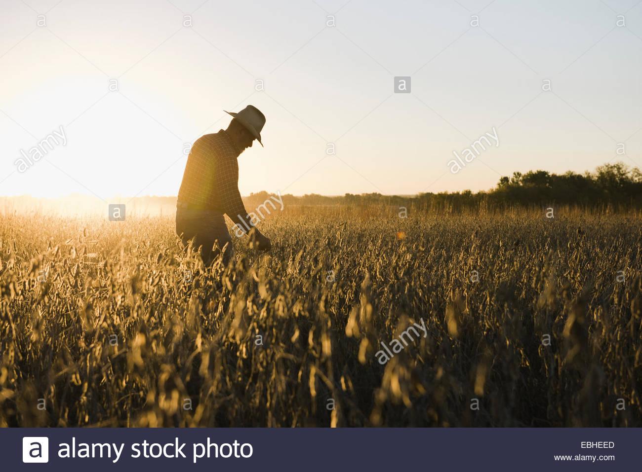Stagliano senior agricoltore maschio guardando il raccolto di soia al tramonto, Plattsburg, Missouri, Stati Uniti Immagini Stock