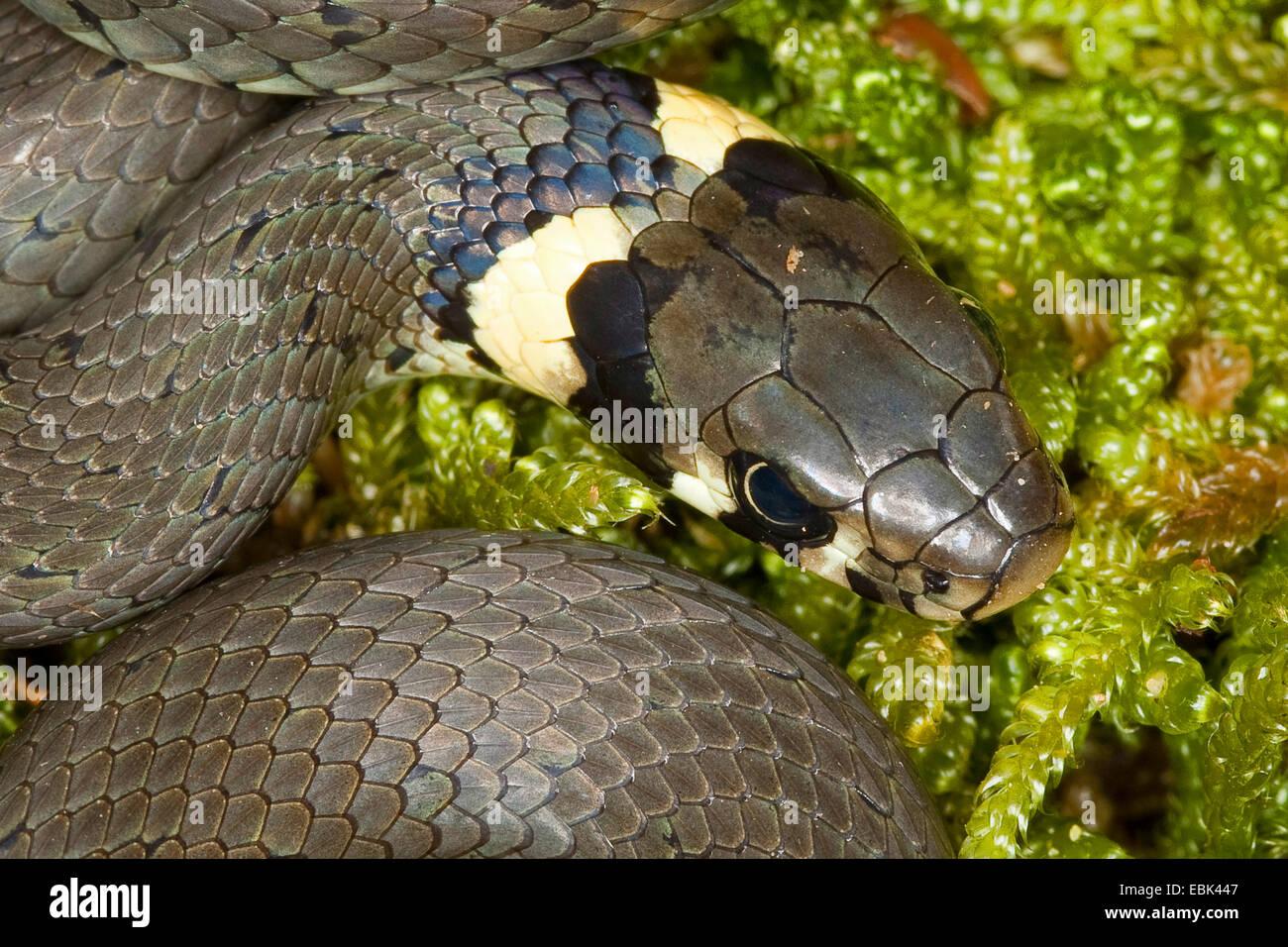 Biscia dal collare (Natrix natrix), la testa di un animale che giace sul muschio, Germania Immagini Stock