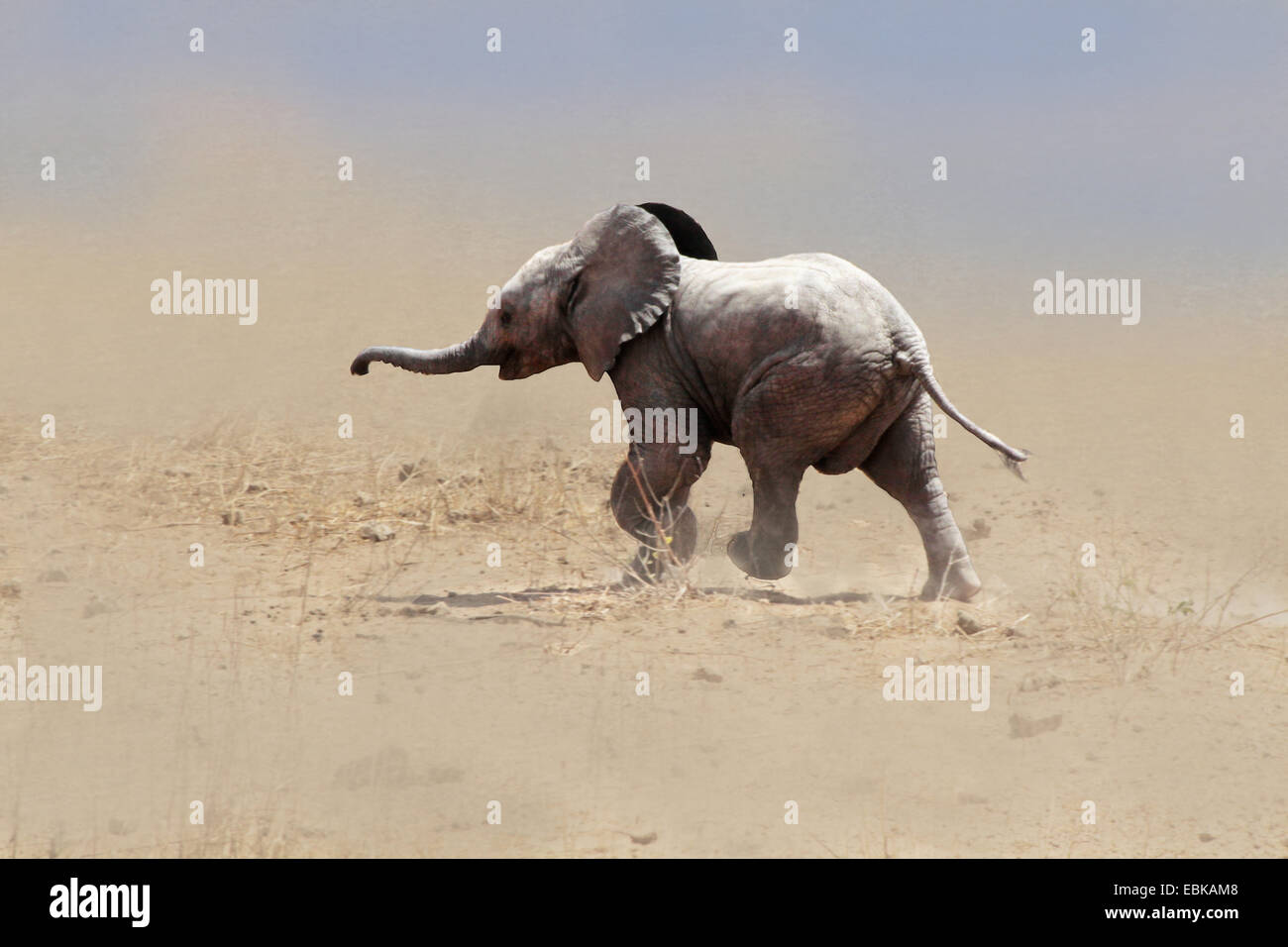 Elefante africano (Loxodonta africana), baby elephant in esecuzione attraverso una tempesta di sabbia, Kenya, Amboseli Immagini Stock