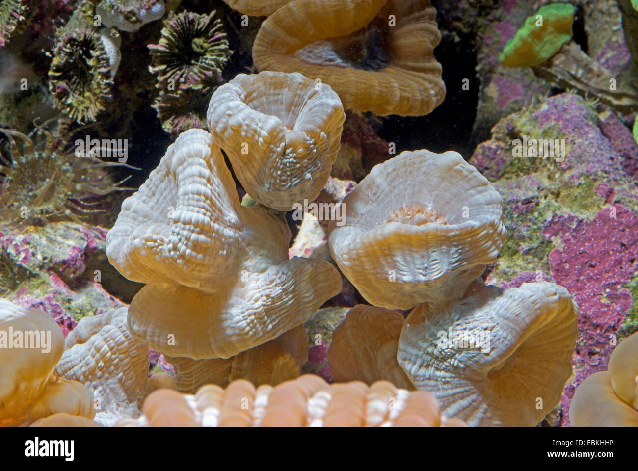 Candycane Coral, torcia Coral (Caulastrea spec.), vista laterale Immagini Stock