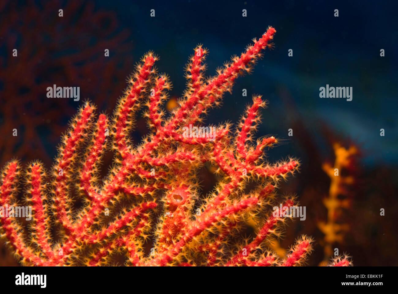 Mar Rosso ventola (Menella spec.), dettaglio Immagini Stock