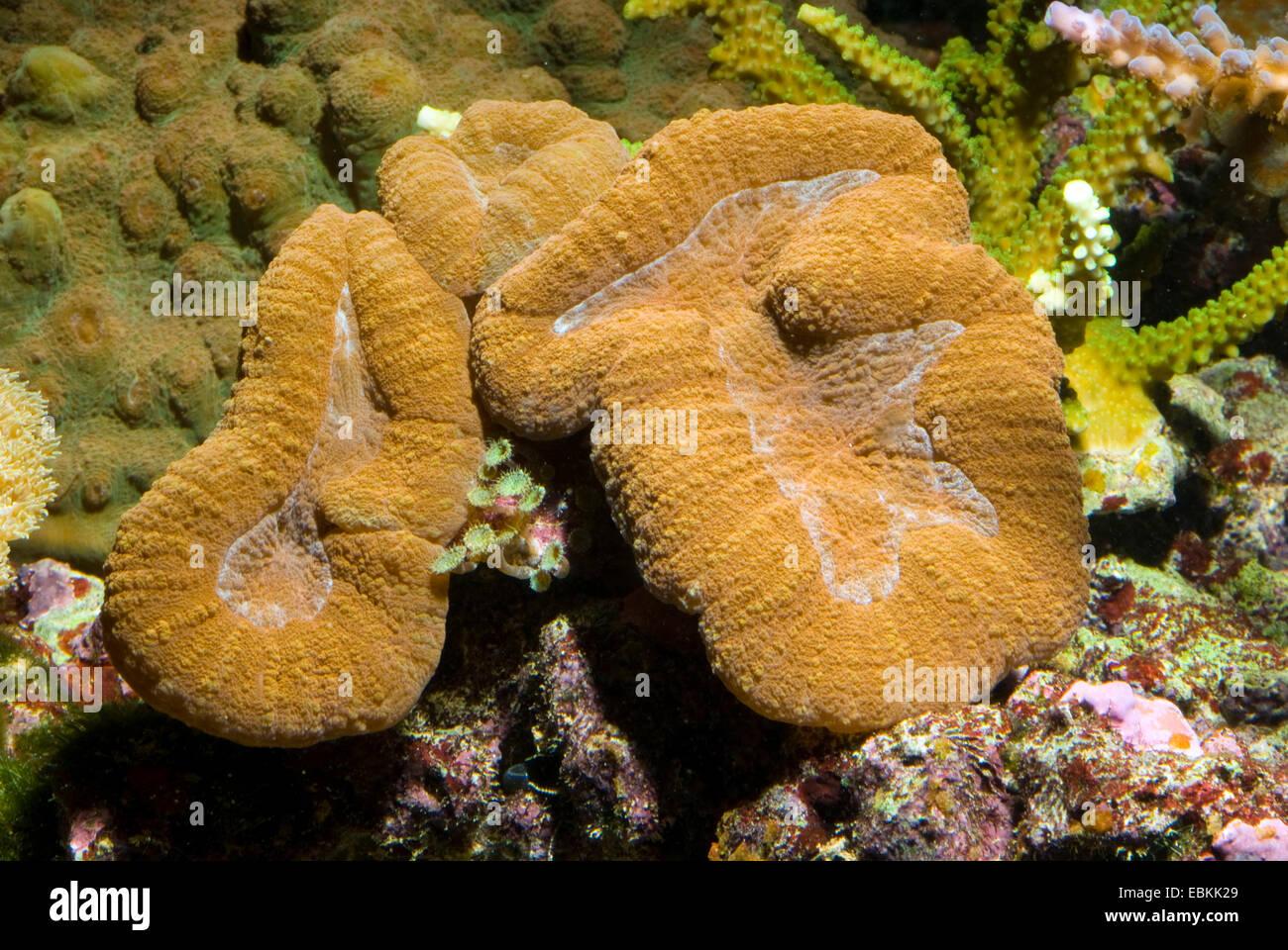 Appartamento Corallo cervello (Lobophyllia hemprichii), vista laterale Immagini Stock