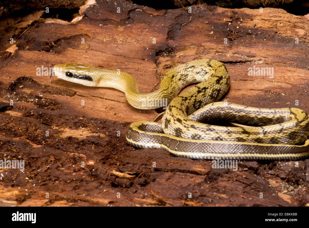 Taiwan bellezza snake, bellezza Snake (Elaphe taeniura, Orthriophis taeniurus taeniurus), arrotolati Immagini Stock