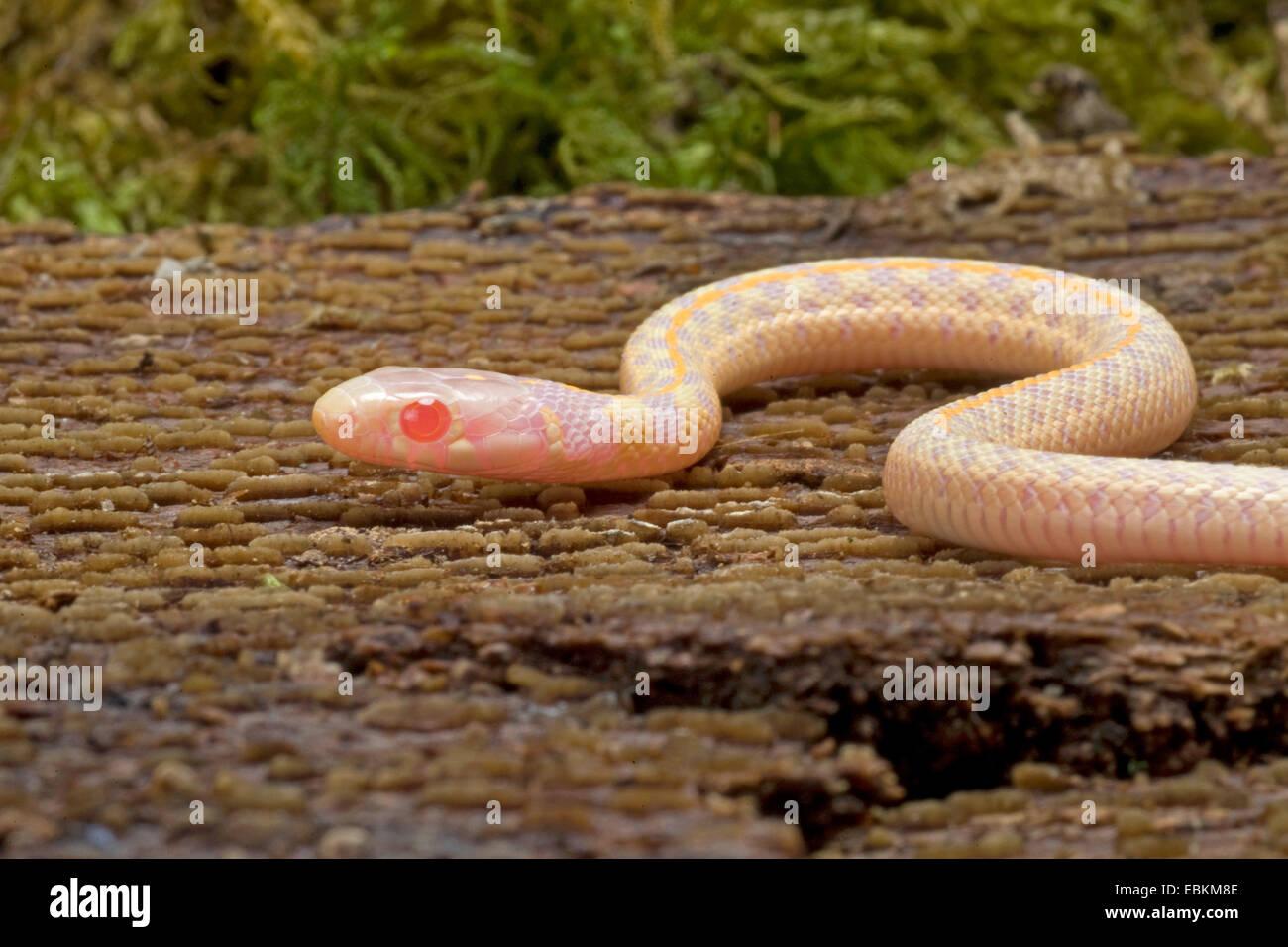 Giarrettiera a scacchi Snake (Thamnophis marcianus), albino Immagini Stock