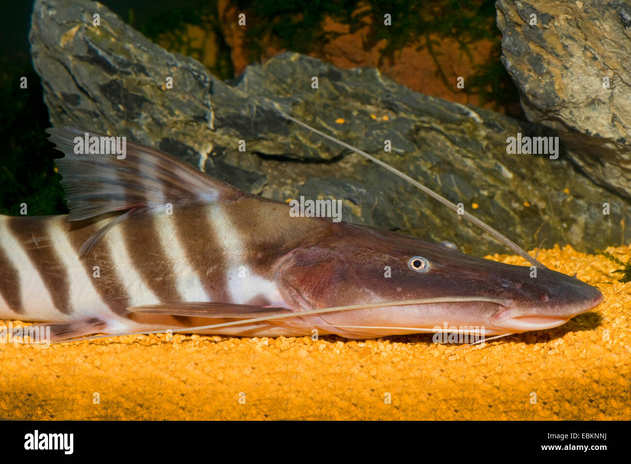 Tiger shovelnose catfish, Zebra Shovelnose, Tigrinus cat, Tiger pesce gatto, Tiger striped catfish (Merodontotus Immagini Stock