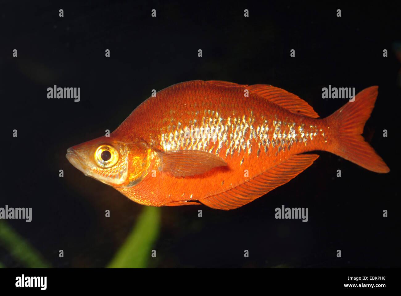 Rainbowfish rosso, rosso Salmone Rainbowfish (Glossolepis incisus), maschio nuoto, KZLU1007 Immagini Stock