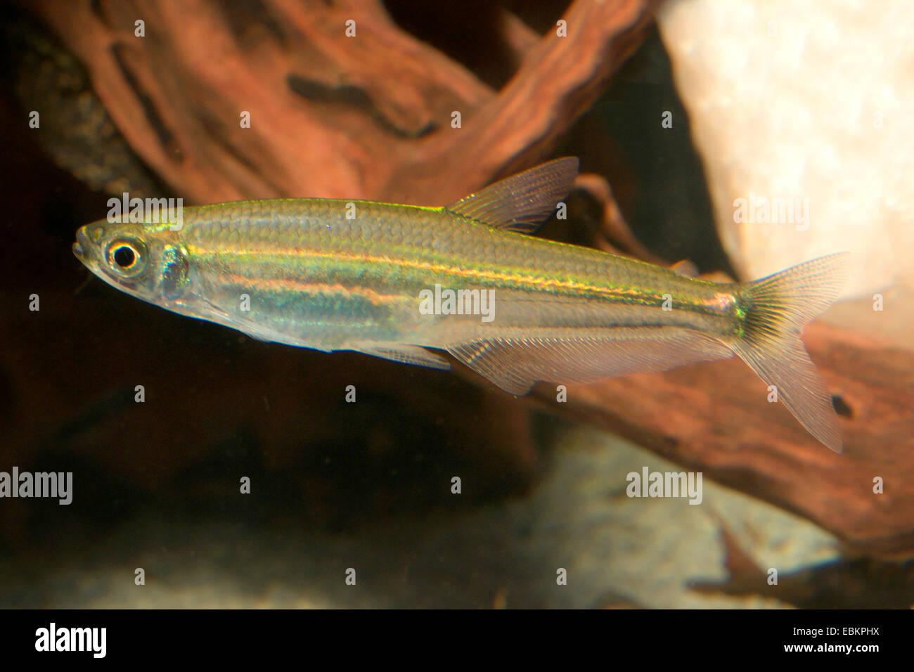 Snello tetra (Iguanodectes spilurus), a piena lunghezza ritratto Immagini Stock
