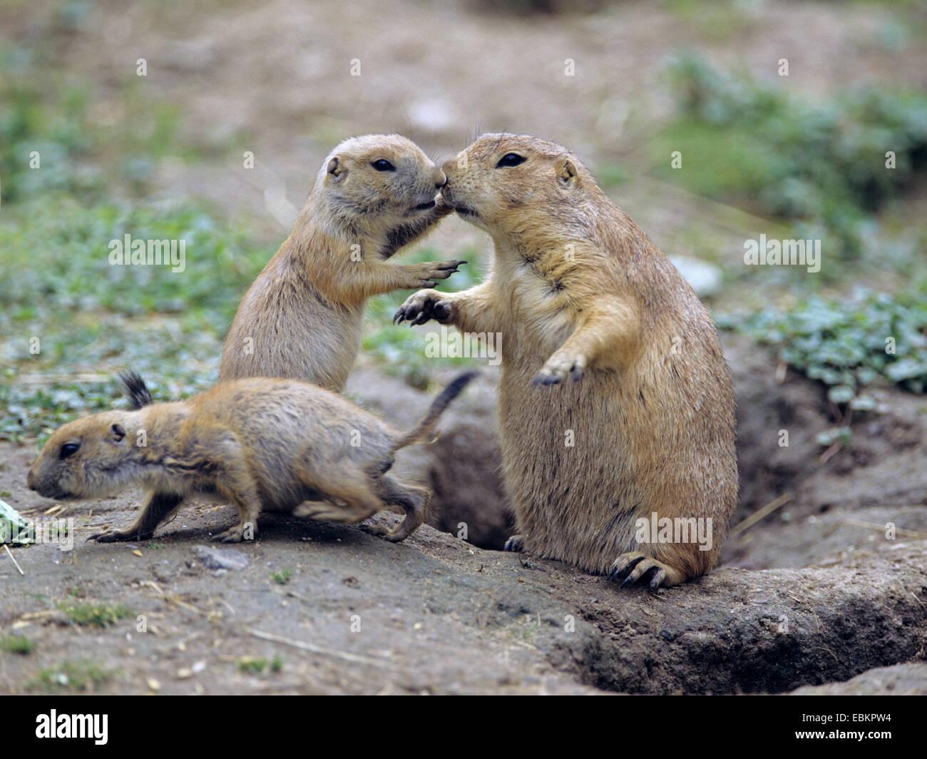 Nero-tailed cane della prateria, pianure prairie dog (Cynomys ludovicianus), con animali giovani in den Immagini Stock