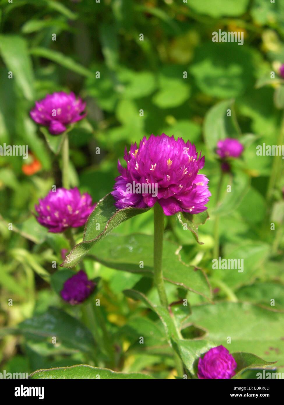 Amaranto a globo (Gomphrena globosa), fioritura Immagini Stock